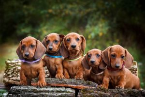 Image of dachshund puppies.