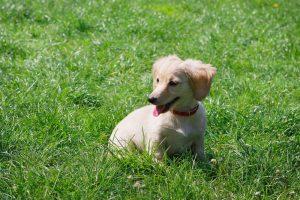 Image of dachshund puppy.